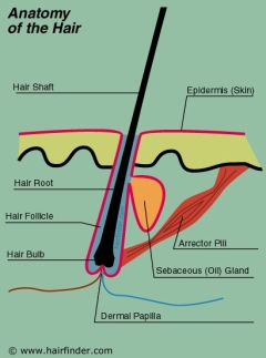 how dose the hair work, or what is hair? | collegestudenthaircaretips, Human Body